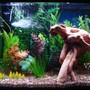 fish tank picture - Left side with gouramis, angels, and cardinals close up.