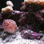 fish tank picture - Corals and Cleaner Shrimp