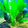 fish tank picture - My three Angelfish