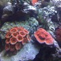 fish tank picture - Red Acan Lord, Hot Tamale Chalice and the Green and Blue Deep Water Acropora.