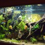 fish tank picture - fully planted and community.