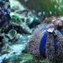 fish tank picture - Blue Tuxedo Urchin with Zoanthids