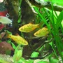 fish tank picture - Golden barbs in front of the root.