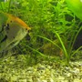 fish tank picture - Koi Angel and Blue ram in the weeds, facing off on an algae wafer