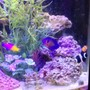fish tank picture - From my cell phone so it's kind of blurry, but there is my royal gramma, coral beauty angel, pair of ocellaris clowns, and a cleaner shrimp.