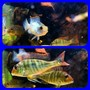 fish tank picture - Young Geophagus Sp. Red Head Tapajos, Electric Blue Acara