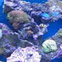 fish tank picture - Leather coral, zoas, green and purple hammer corals