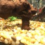 fish tank picture - Tetra and Loach