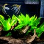 fish tank picture - 29 gallon planted tank with cory cats, fee guppies,neon tetras, 2 angelfish and a german ram