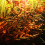 fish tank picture - Nannostomus rubrocaudatus hiding among Ludwigia Palustris