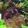 fish tank picture - Red Cherry Shrimp
