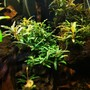 fish tank picture - The wild rams litle bucephalandra garden