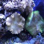 fish tank picture - Toadstool Fiji Leather