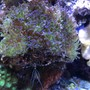 fish tank picture - Frogspawn Coral