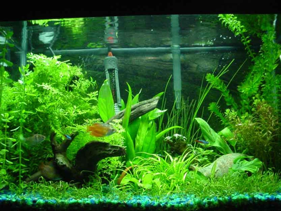 20 gallons planted tank (mostly live plants and fish) - plants include: moneyworts, java fern, brazil sword, a water sprite, an assorted sword plant, a lutea, micro swords, anubius nana, narrow leaf chain sword and bananna plants. My fish include 1 black skirt tetra, 2 dwarf gouramis, 2 fire red dwarf gouramis, 1 yellow tailed botia, 1 pleco, 1 chinese algae eater and 3 neon tetras. I keep the water at 75 degrees F, DIY CO2, 65 watt 6700K light. please leave feedback and suggestions.