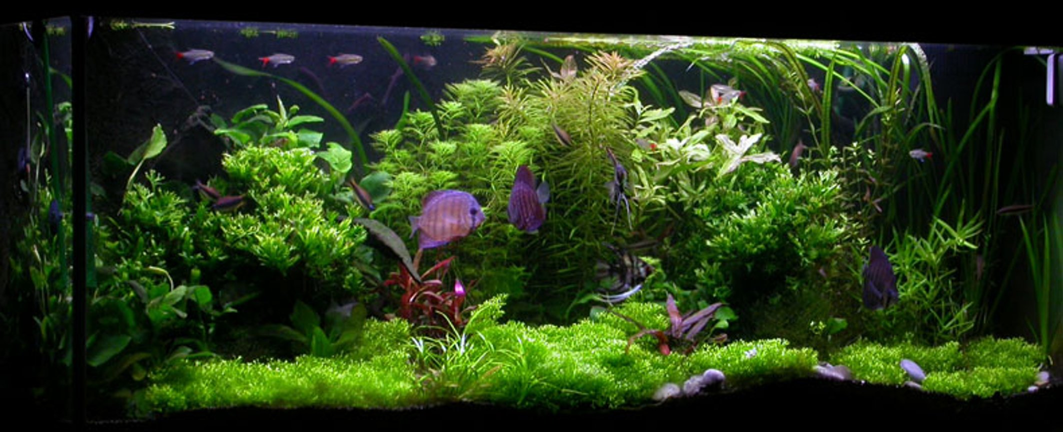 planted tank (mostly live plants and fish) - Here's my diskus tank.. enjoy.-