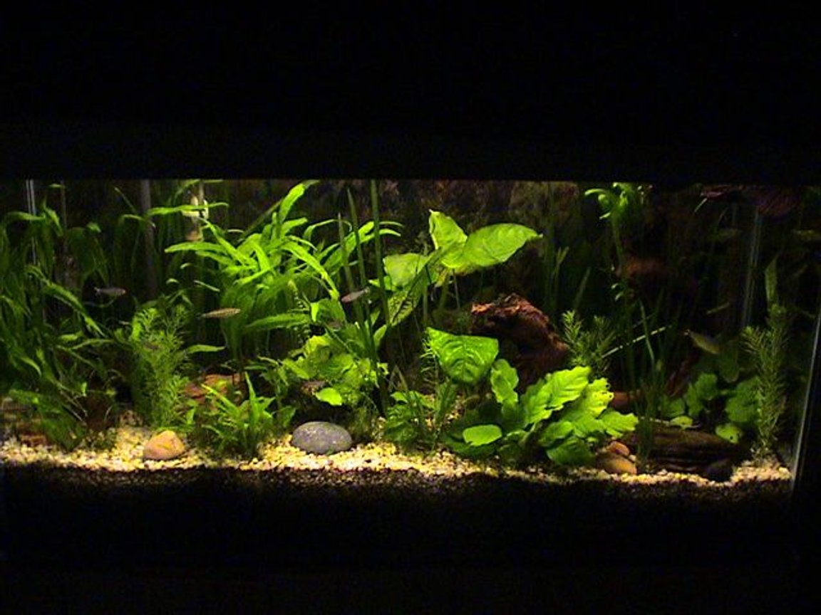 35 gallons planted tank (mostly live plants and fish) - 2 blood fins 5 rummy nose 2 sucking loaches 2 plecos(one is 10-12inches long), 3 buenos aries 4 zebras .2 african frogs 2 madascar tetras. Has been running since 1997.