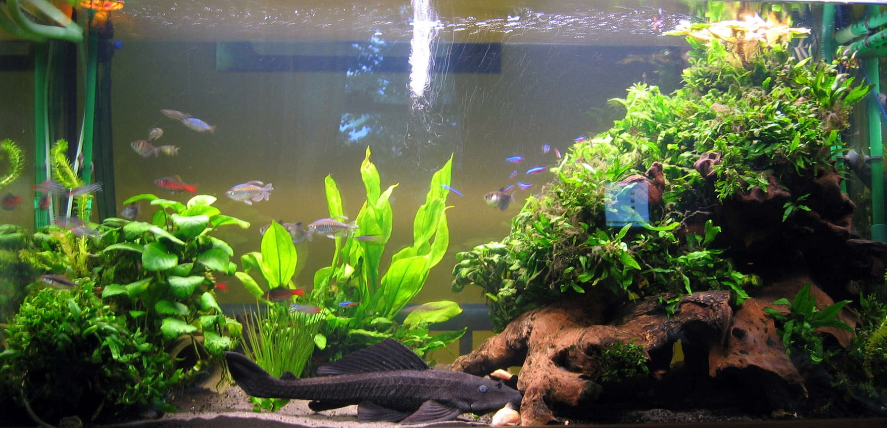 "79 gallons planted tank (mostly live plants and fish) - Harry's Home; Java fern & Anubias planted over large pieces of bogwood gives a nice hiding place for Harry the 18"" Plec"