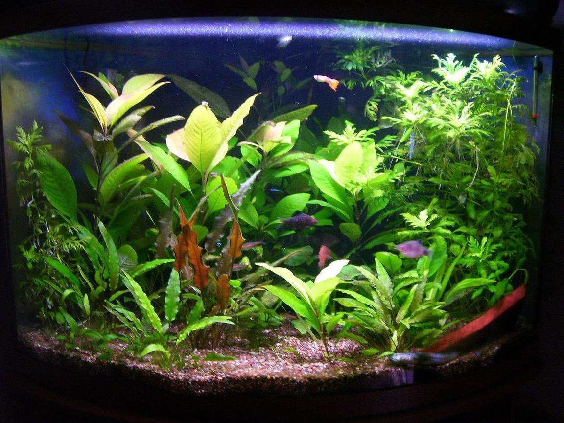 36 gallons planted tank (mostly live plants and fish) - 36 gallon corner bowfront