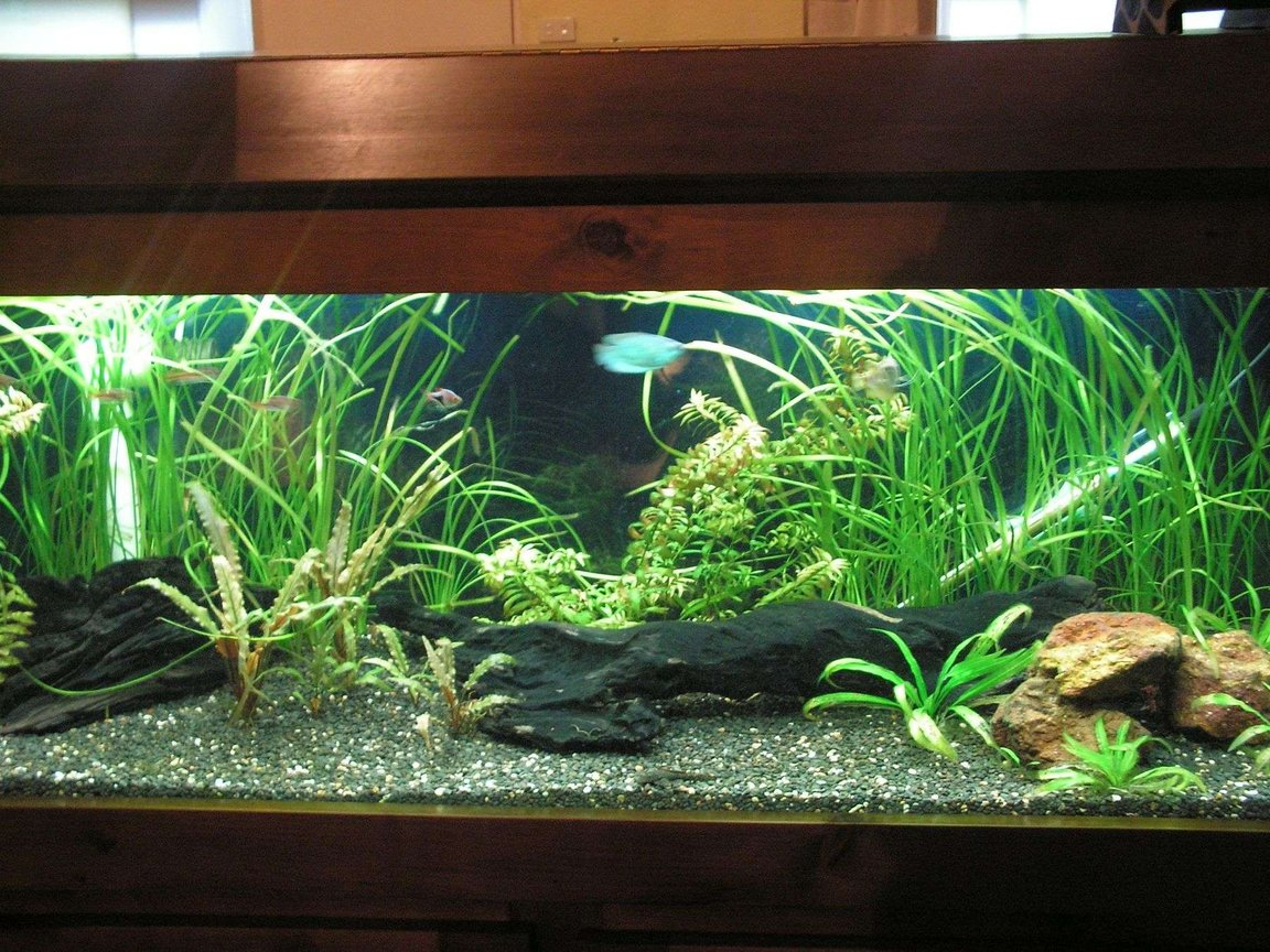50 gallons planted tank (mostly live plants and fish) - My 4ft tropical fisht ank