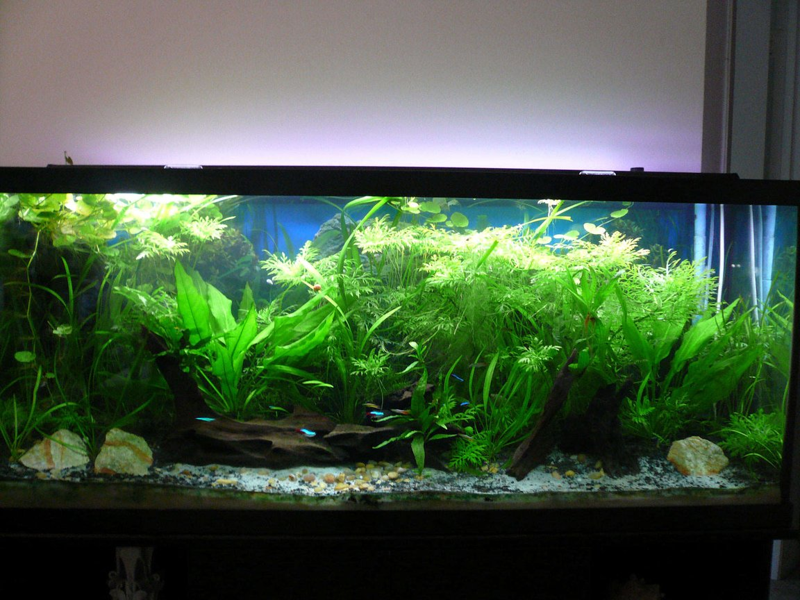55 gallons planted tank (mostly live plants and fish) - Full View.