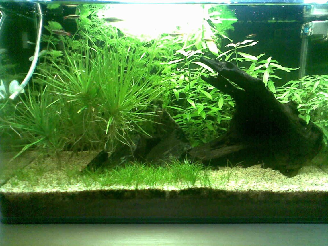10 gallons planted tank (mostly live plants and fish) - Dimensions: 14 x 12 x 14 inch Volume: 10 g / 40 l Filtration: Internal Powerhead Filter @ 350 lph Lighting : 4WPG / 11 hrs photoperiod Substrate: JBL AquaBasis and Fine Gravel Water: 6.5 to 7.5ph and no other parameters measured Others : DIY Co2 Roommates: 2 Black Molly, 3 SAE, 2 Swordtail, 1 Platy, 2 Zebra and 11 White Cloud