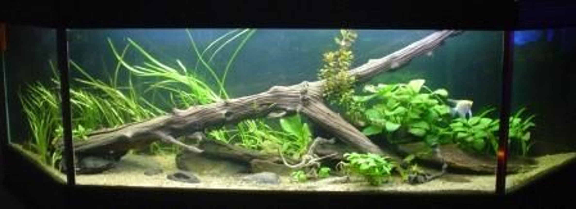 132 gallons planted tank (mostly live plants and fish) - Redo of Discus Aquarium.....better picture