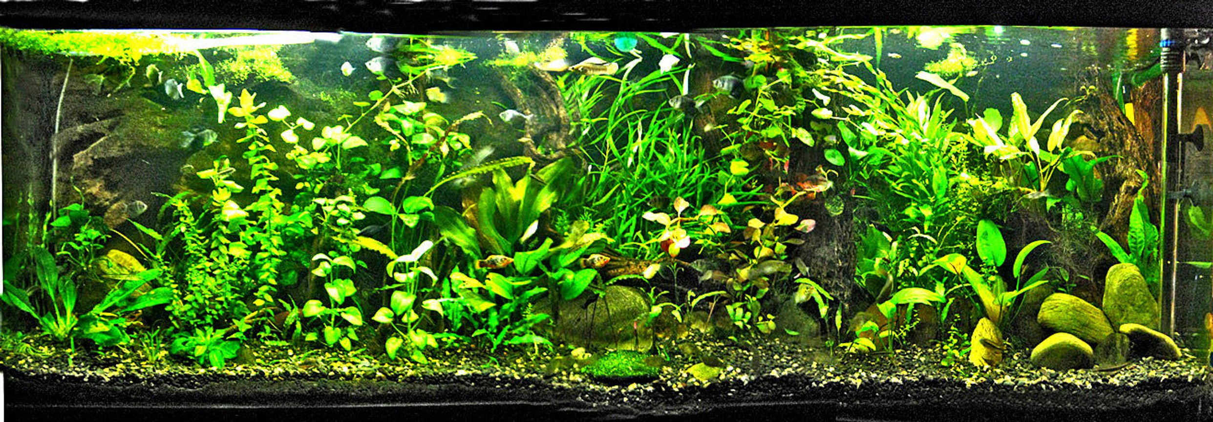 148 gallons planted tank (mostly live plants and fish) - This is my newly re-planted 600 litre tank!