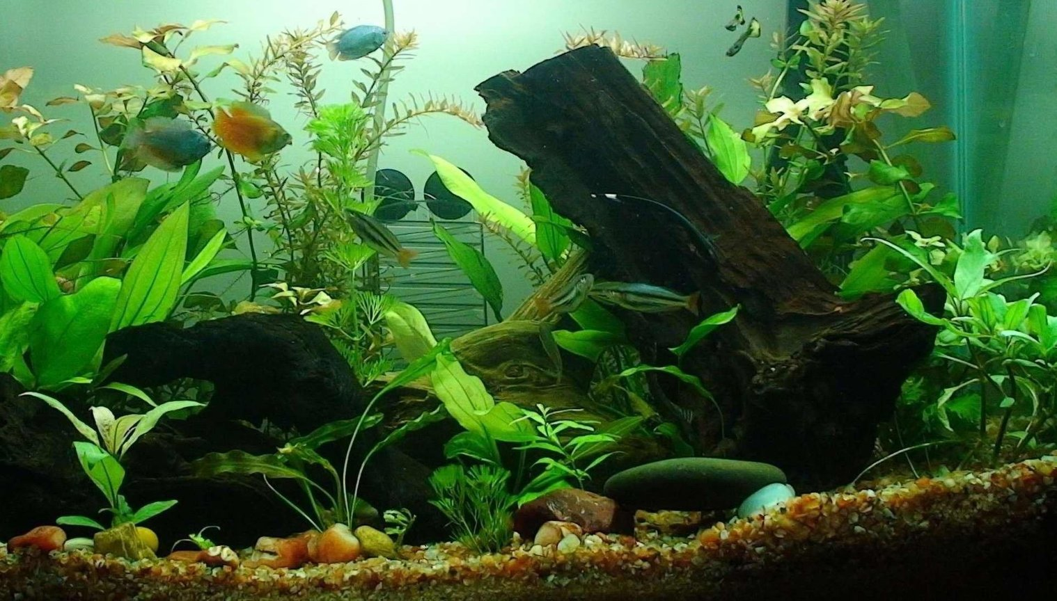 30 gallons planted tank (mostly live plants and fish) - 30 gallon Planted Aquarium Current Population: 2 Guppy 2 Common Pleco 4 Black Widow Tetra 3 Banded Rainbow 9 Neon Tetra 4 Harlequin Rasbora 2 Cherry Barb 2 Rummy Nose Tetras