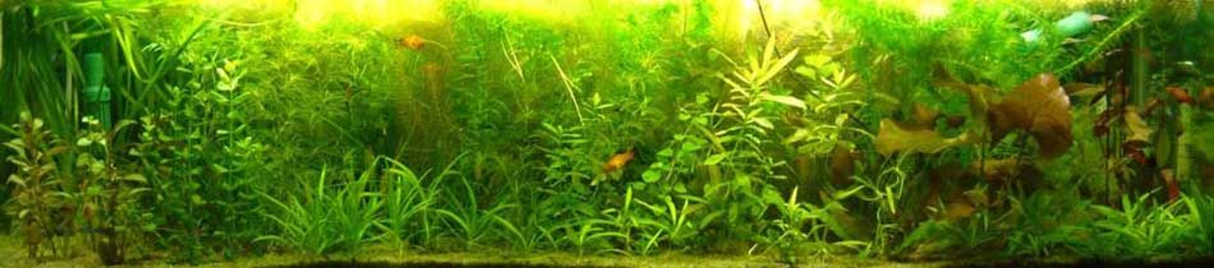 30 gallons planted tank (mostly live plants and fish) - My fish tank...before was only plants with mollies
