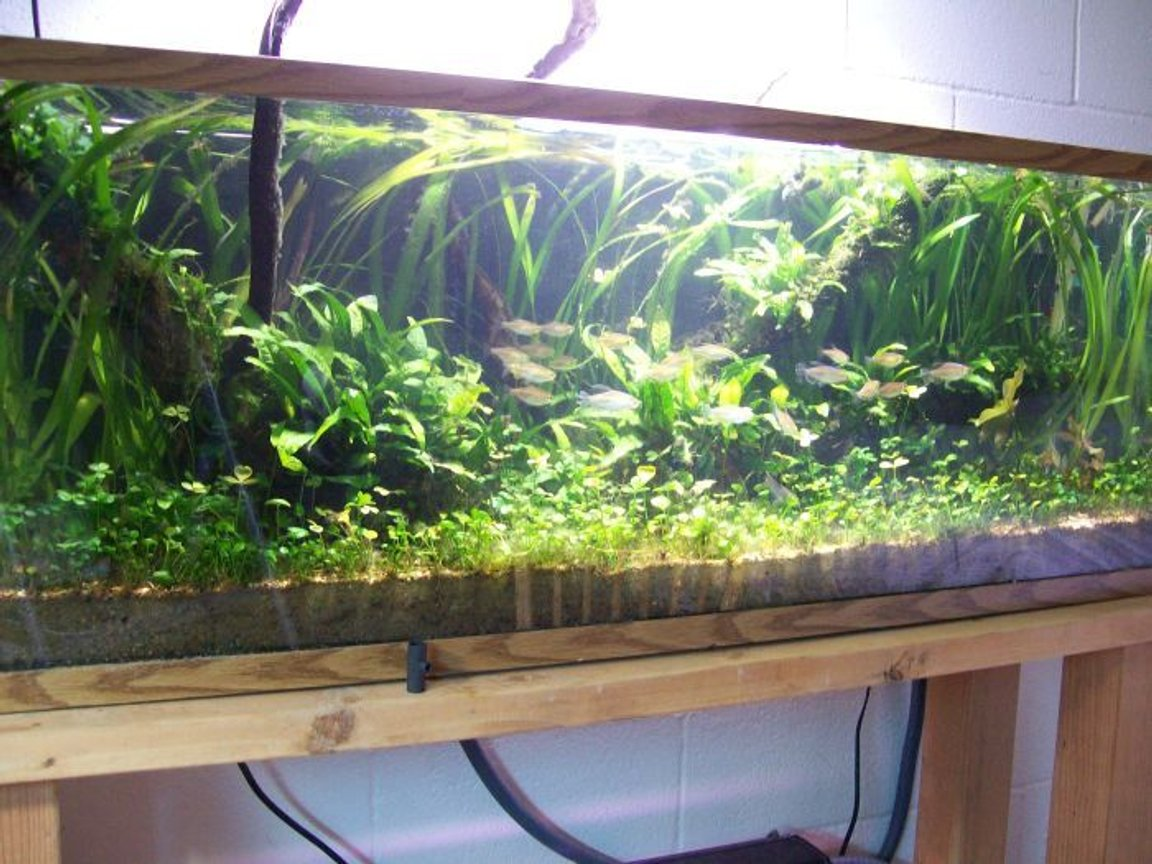 "50 gallons planted tank (mostly live plants and fish) - psuedo west african theme with pelvicachromis taeniatus ""lokoundje"" and congo tetras"