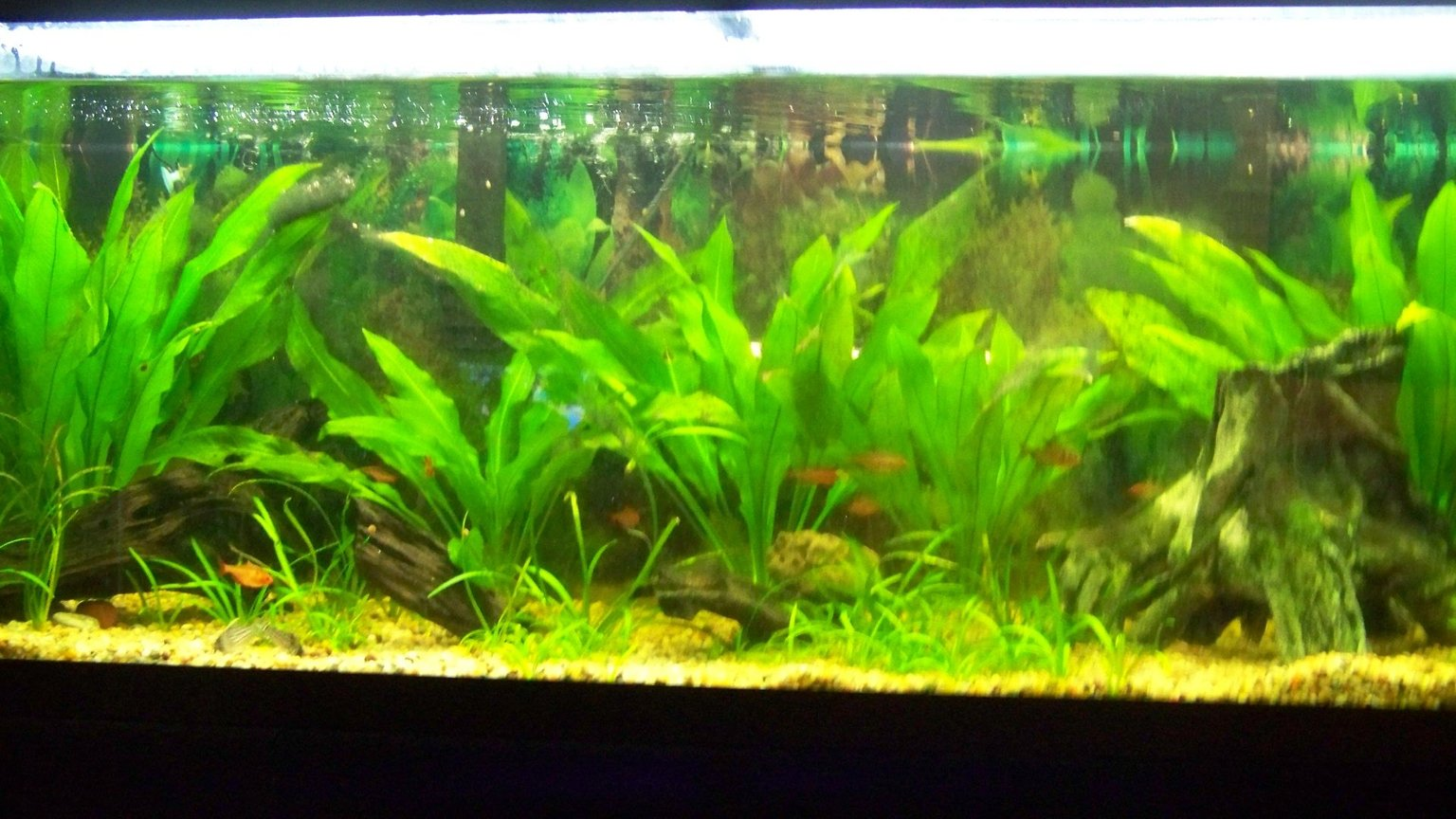 75 gallons planted tank (mostly live plants and fish) - 75 gallon amazon community tank