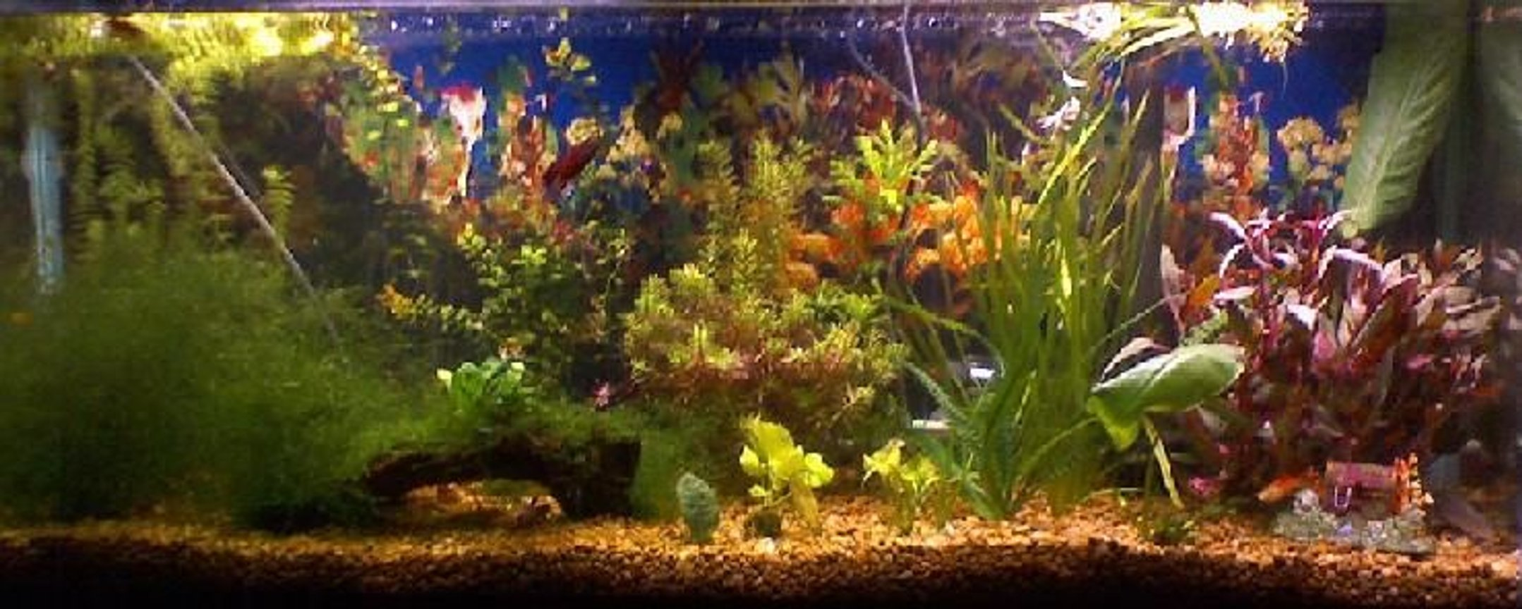 55 gallons planted tank (mostly live plants and fish) - 55 gal fry tank 15 pineapple swordtails 10 guppies 1male betta and two females gold alga eater plecko silver shark