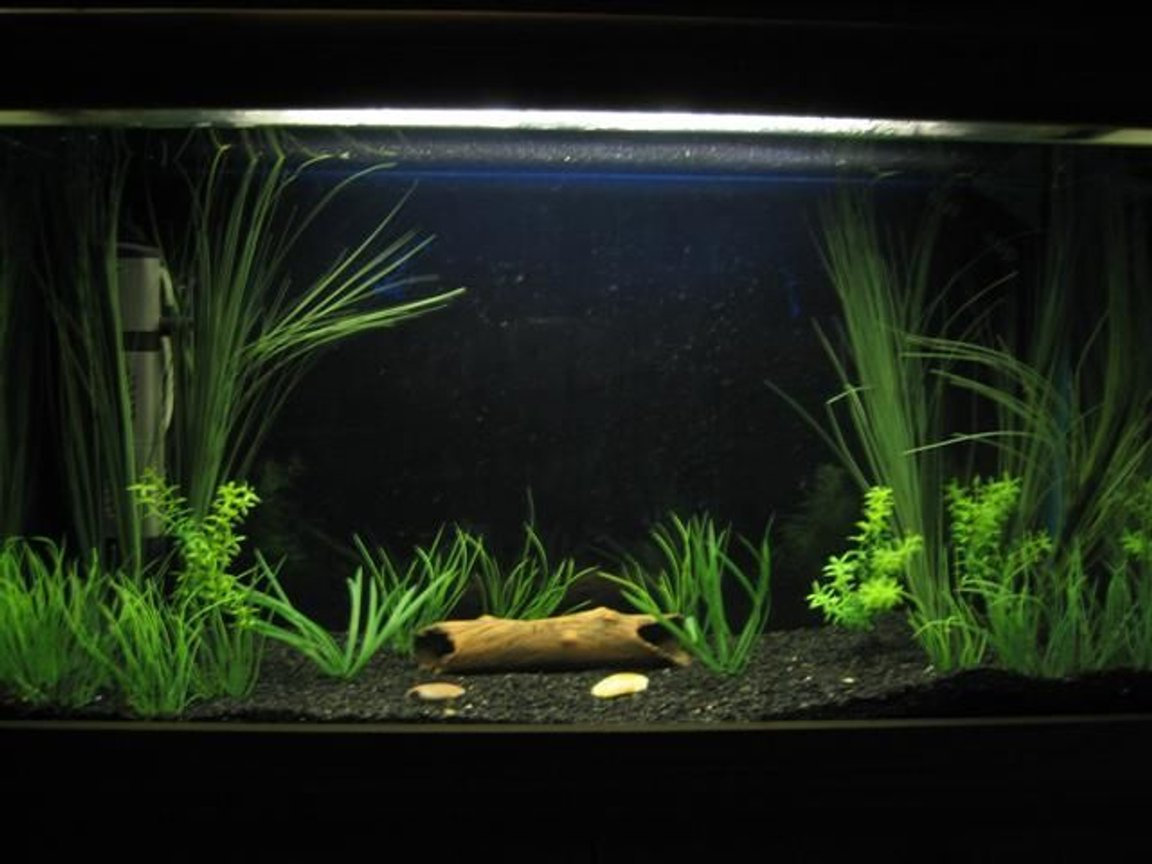30 gallons planted tank (mostly live plants and fish) - my 3ft tank with 2 pakistani loaches both hiding in the log.