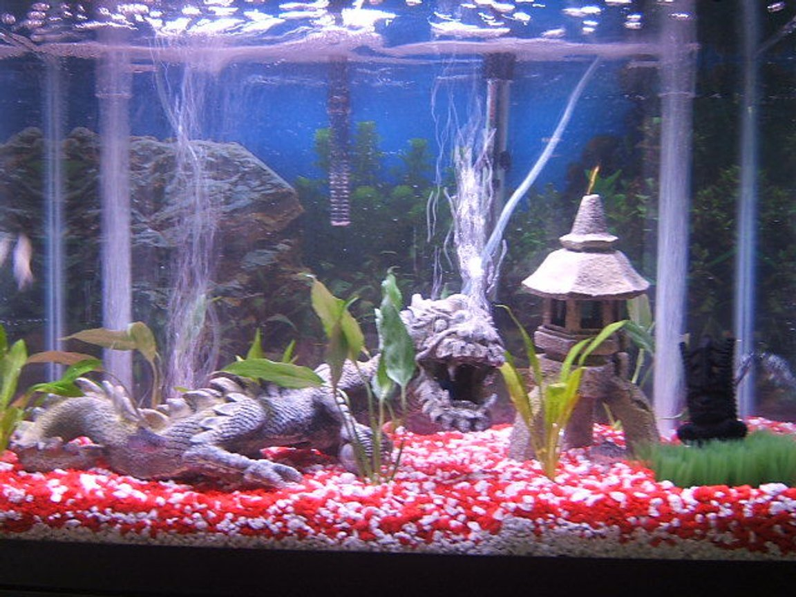 20 gallons planted tank (mostly live plants and fish) - Red and White gravel, Chinese dragon with bubble stone in mouth, bubble stone volcano, undergravel filtration system, breeding grass, tiki statue for prosperity, Bihndi temple, Umbrella Grass, Sword plants, has bulbs planted under gravel, more pictures to come when they grow!