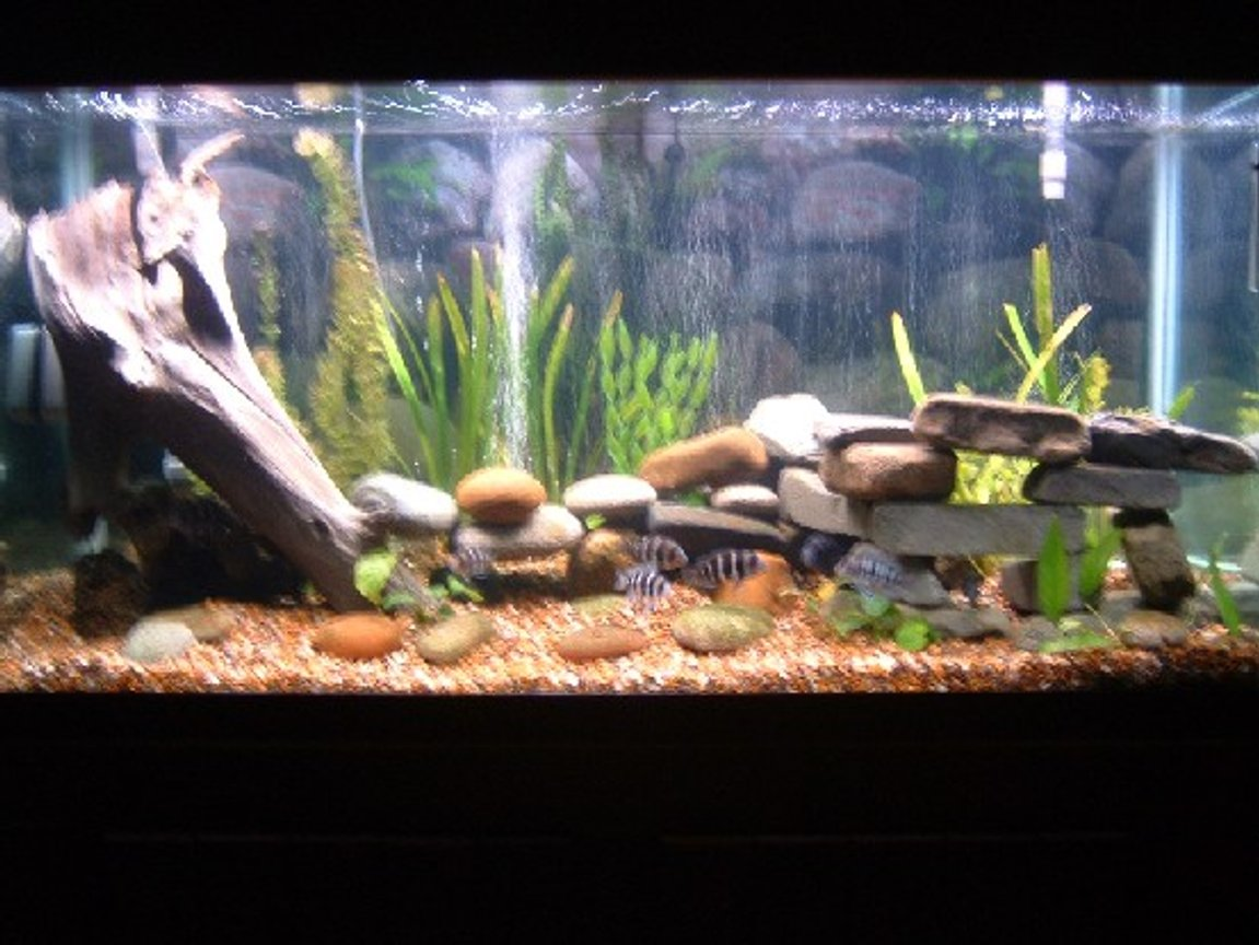 90 gallons planted tank (mostly live plants and fish) - 90 gallon tank with 8 juvenile forntosas, 3 muliplicantis synodonis, and 1 euphious synodis. Almost all live plants. Ther are three plastic plants used in holding up the leaves of the live wide leaf sagatarious. I also have a veriety of diffrent anubiass. The tank has timers to turn the moon lights on and off as well as the day lighting.