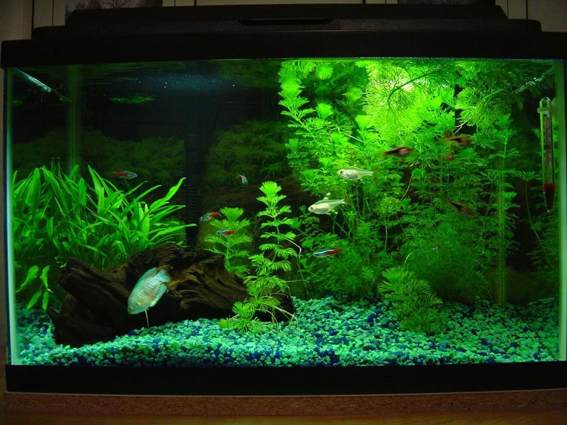 10 gallons planted tank (mostly live plants and fish) - Main 10 Gallon Tank