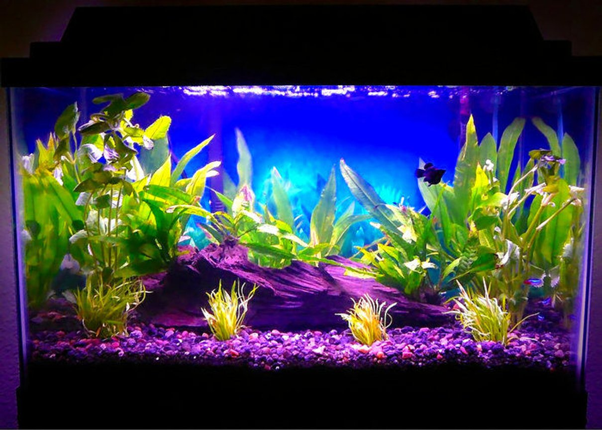 10 gallons planted tank (mostly live plants and fish) - 16 July 2008 (1 Balloon Molly, 3 Neon Tetras, Java Fern, Amazon Sword, Wisteria, Micro Sword)