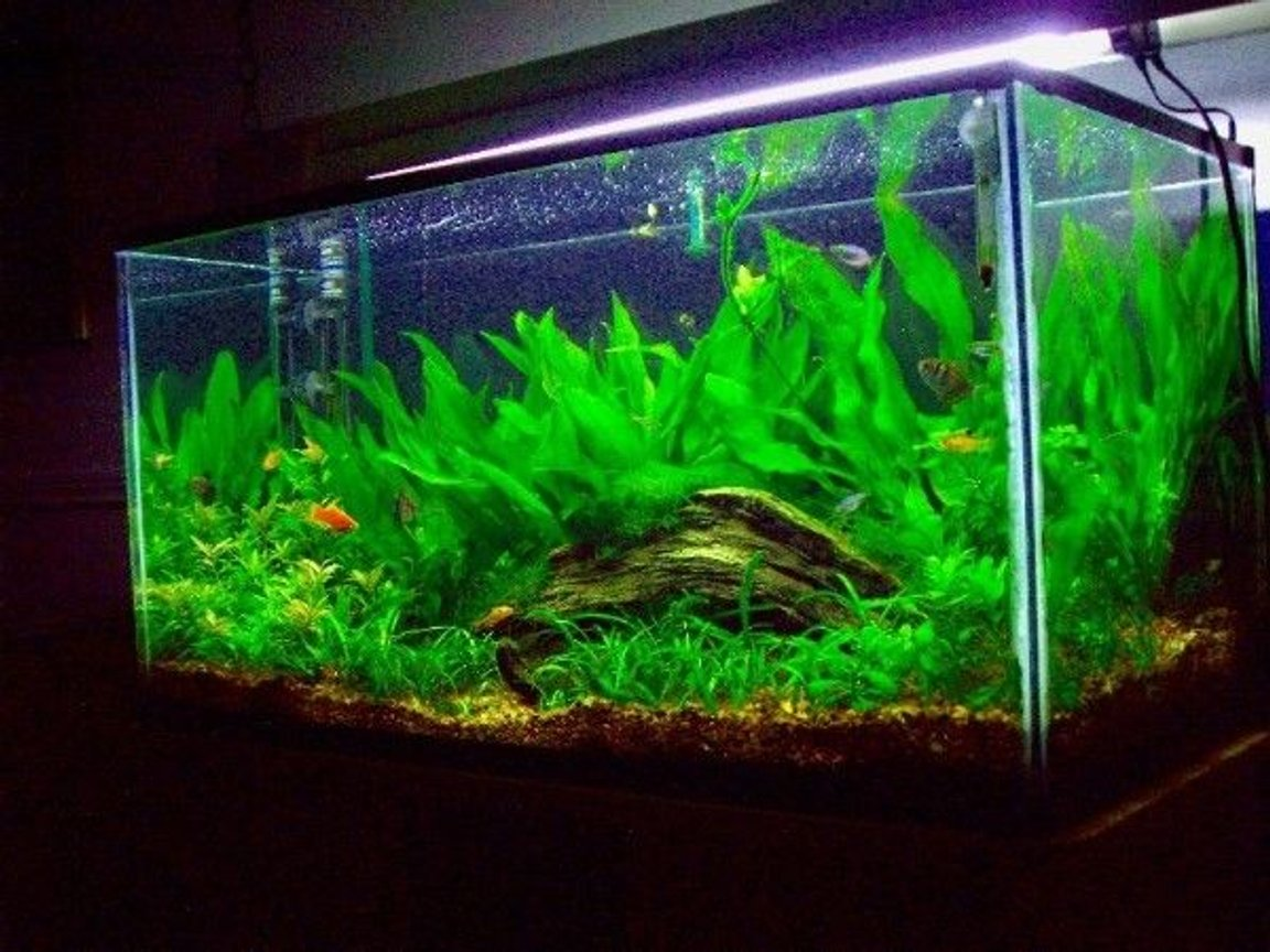50 gallons planted tank (mostly live plants and fish) - 50 Gallon Planted Tank
