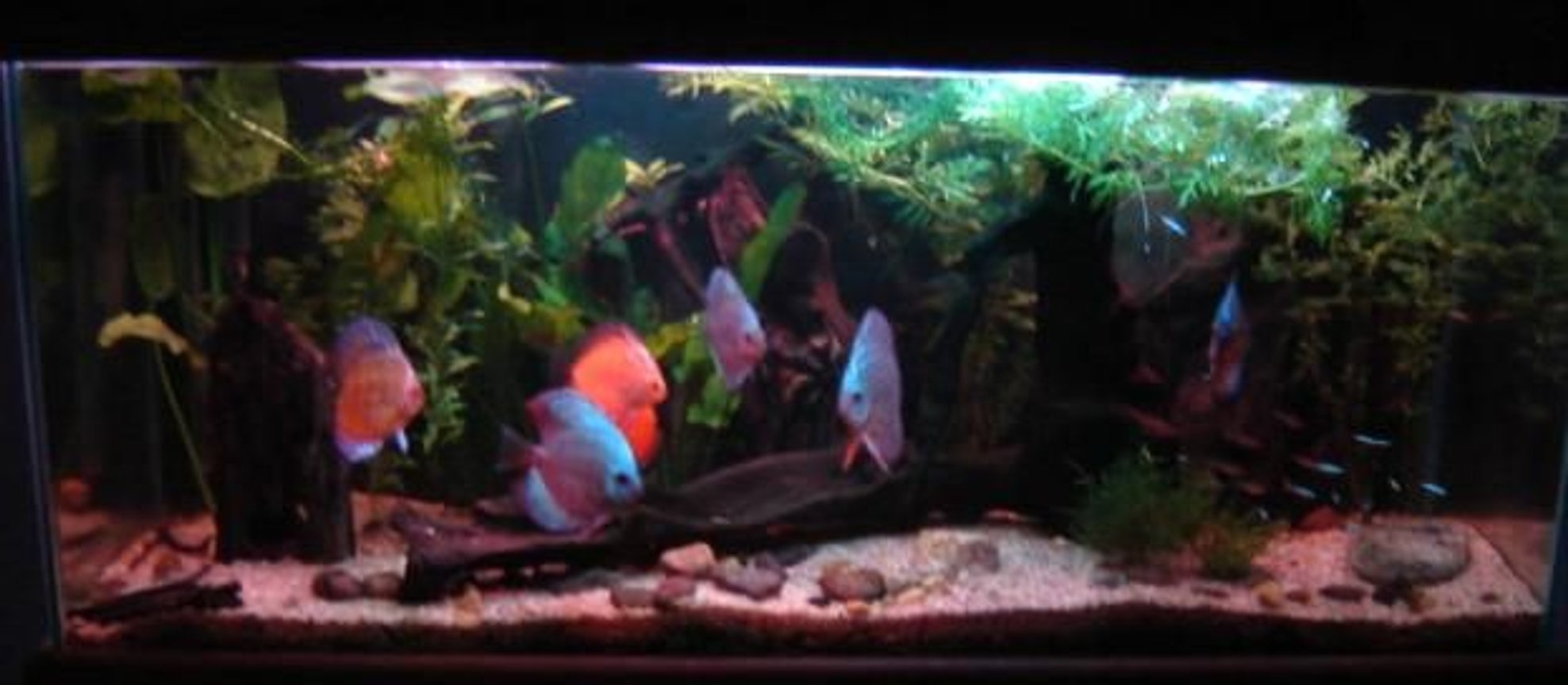 113 gallons planted tank (mostly live plants and fish) - Dark shot of my discus tank