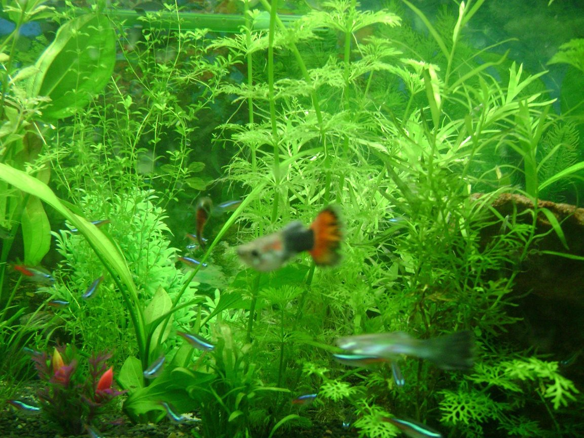 50 gallons planted tank (mostly live plants and fish) - Guppies