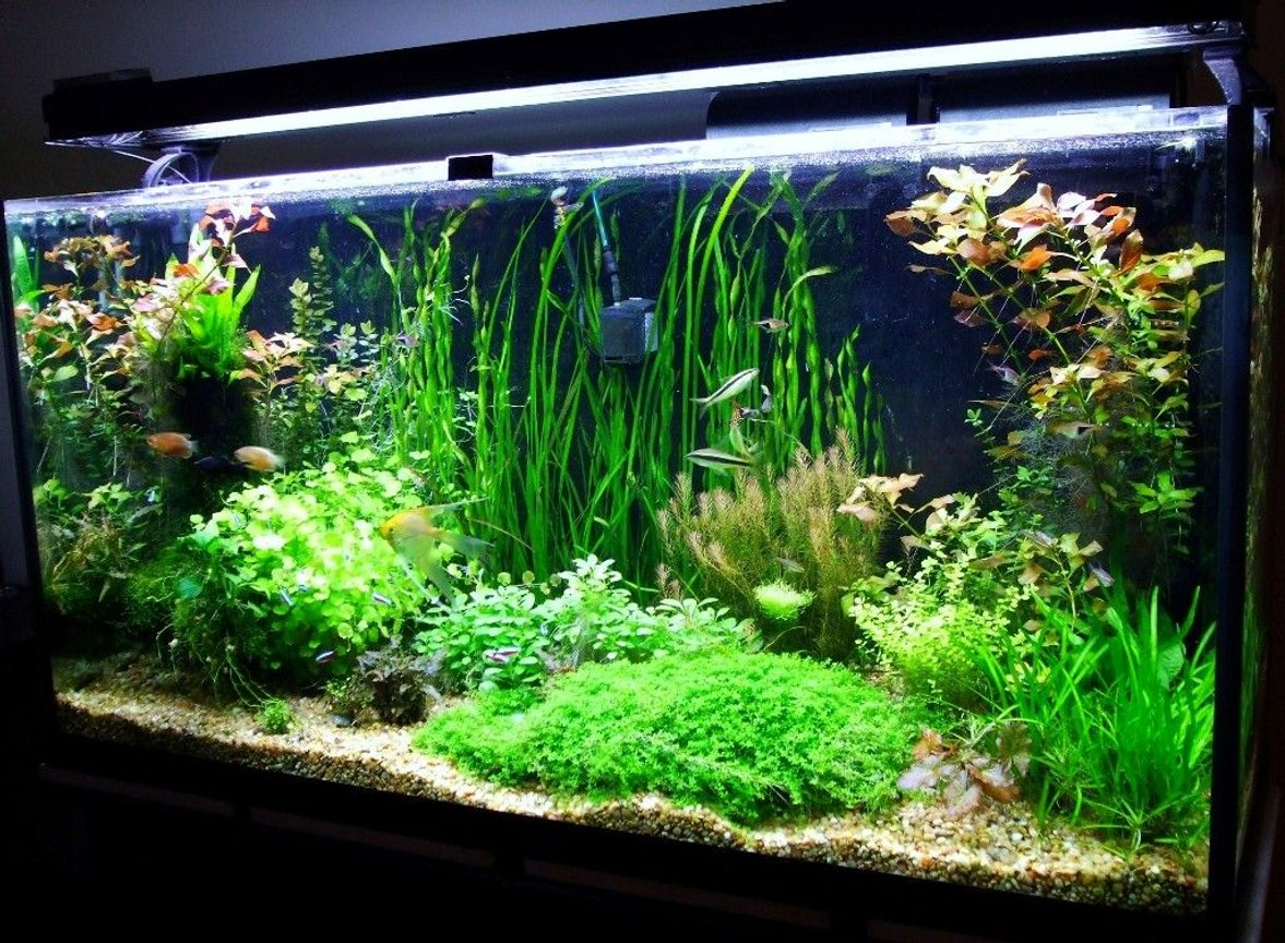 77 gallons planted tank (mostly live plants and fish) - 77 gallon Amazon Tank