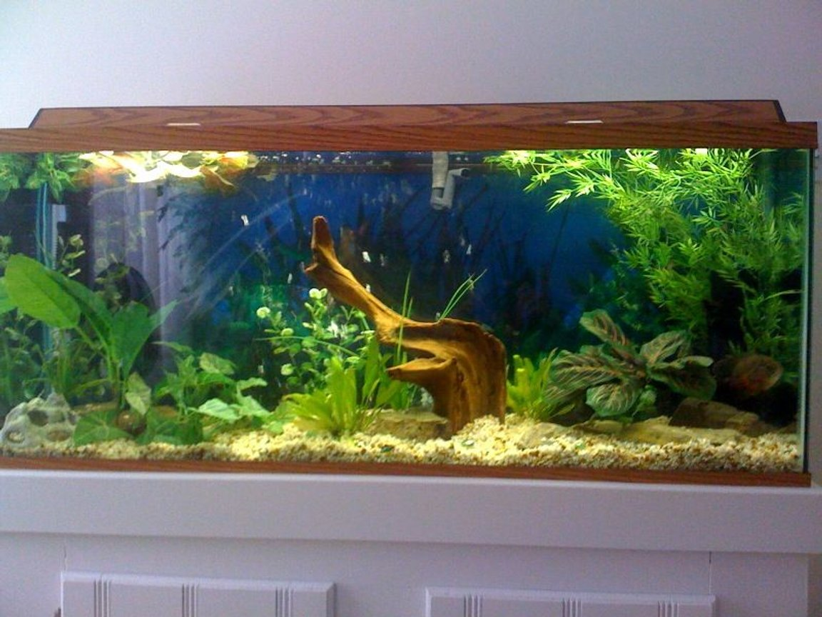 55 gallons planted tank (mostly live plants and fish) - 55g, Morty Tiger oscar , live and fake plants.Crick/ Stream rocks, Driftwood and Natural stone gravel bed. Please leave a message!