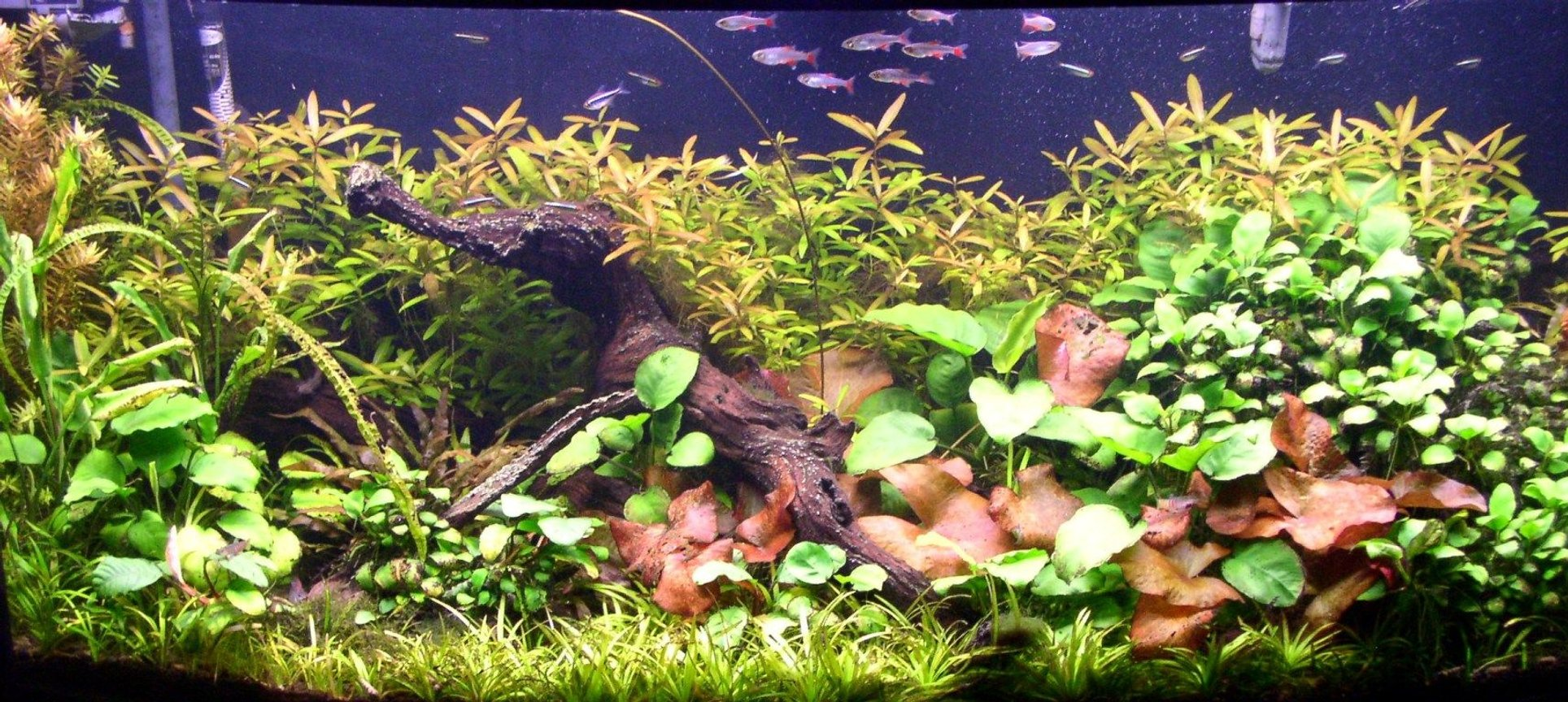 125 gallons planted tank (mostly live plants and fish) - 72 Gallon Bowfront, hardwater plants