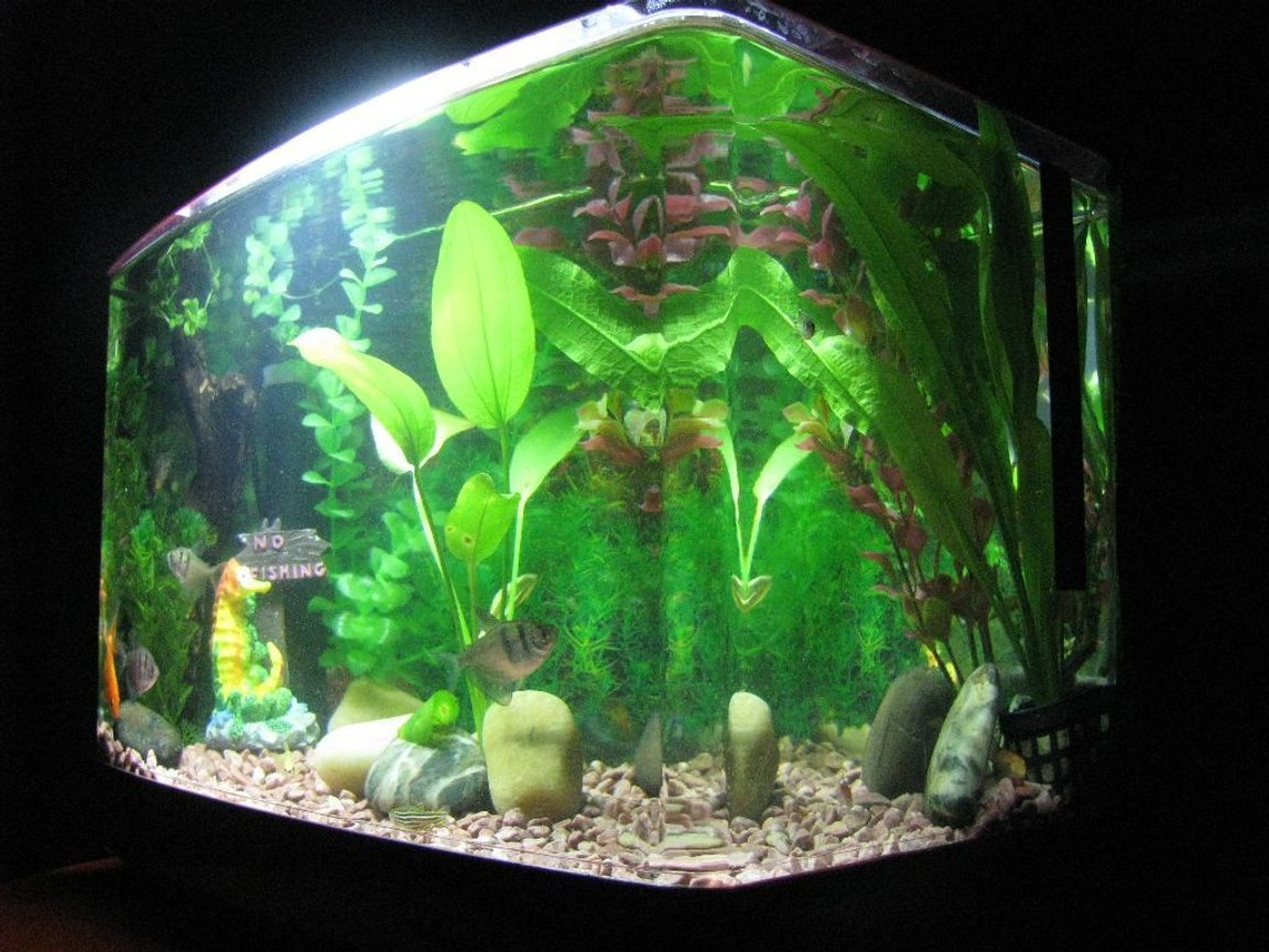 5 gallons planted tank (mostly live plants and fish) - Black Widow Tetra