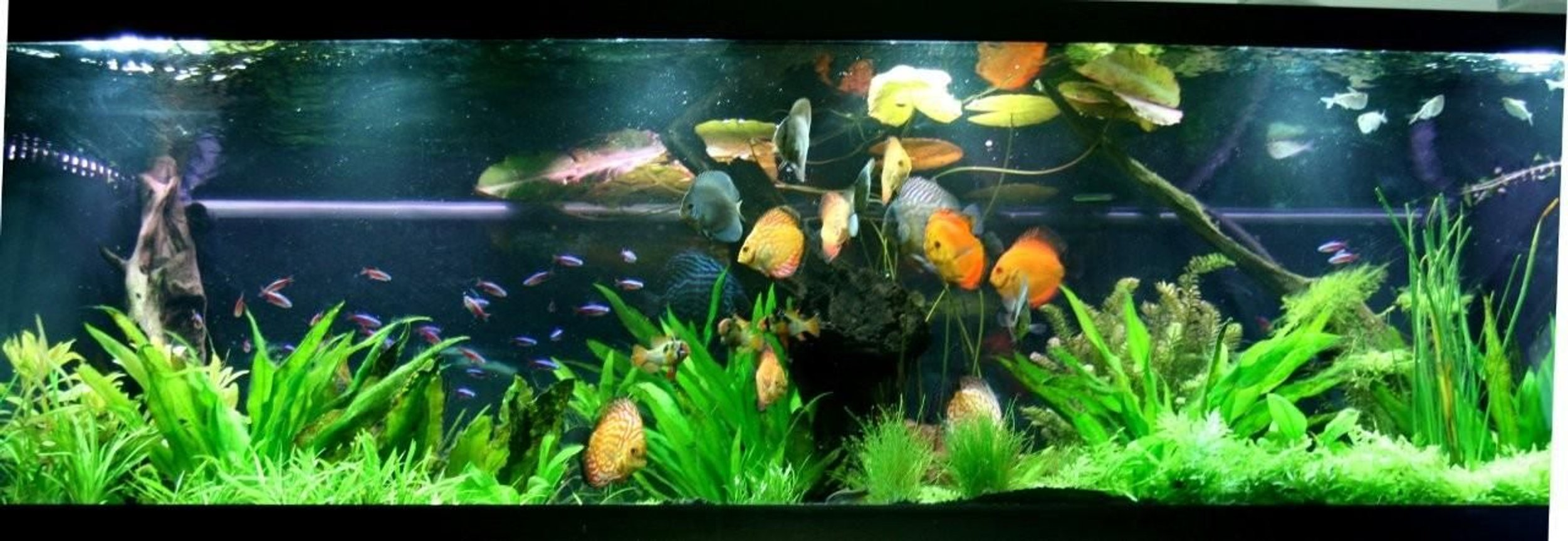 130 gallons planted tank (mostly live plants and fish) - The display tank.