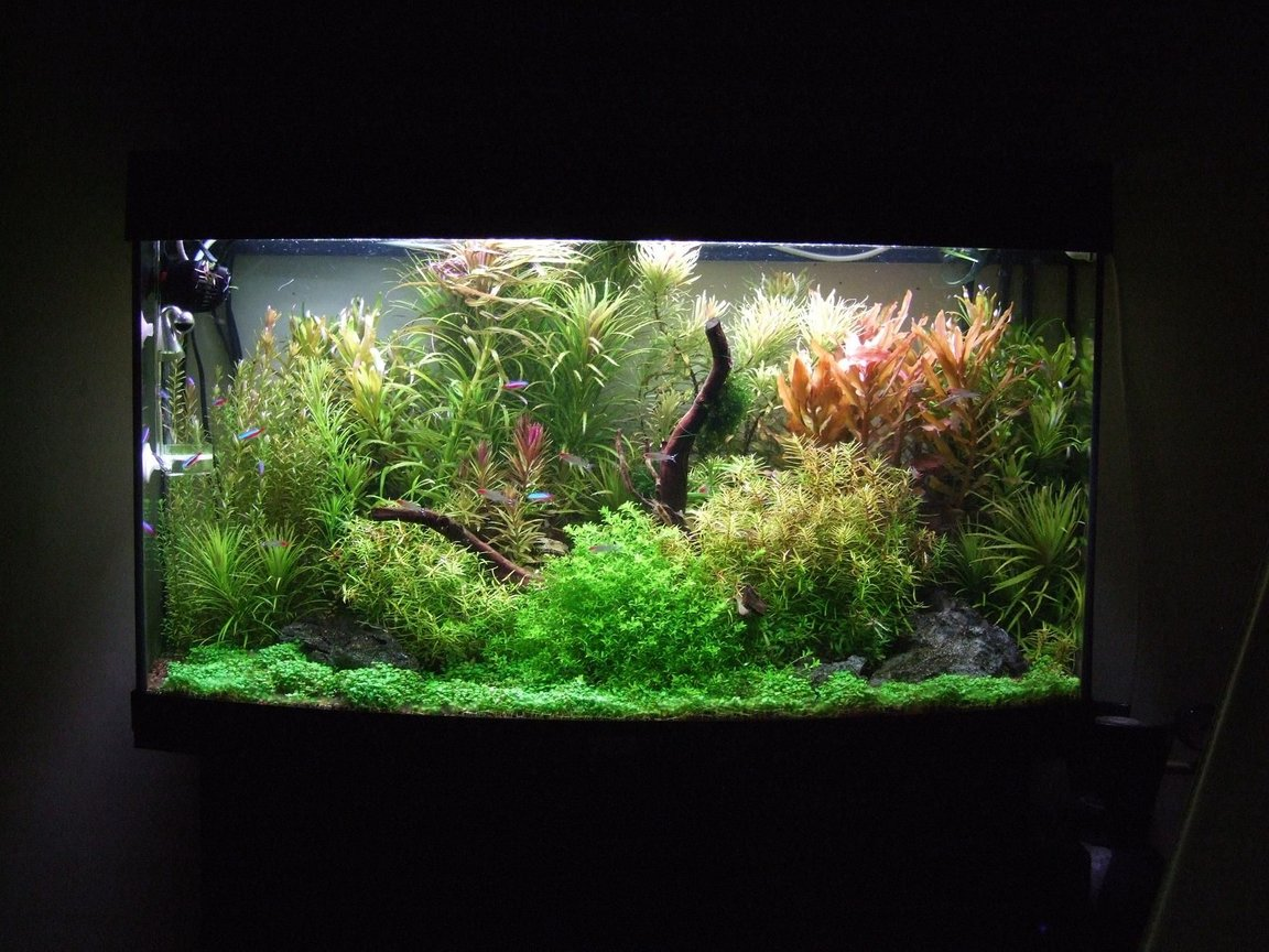 40 gallons planted tank (mostly live plants and fish) - Fed up with the 'Nature' style of tanks I've set this more traditional European style, but with still keeping the Amano principals . Overall first results are excellent. Dry ferts are added daily