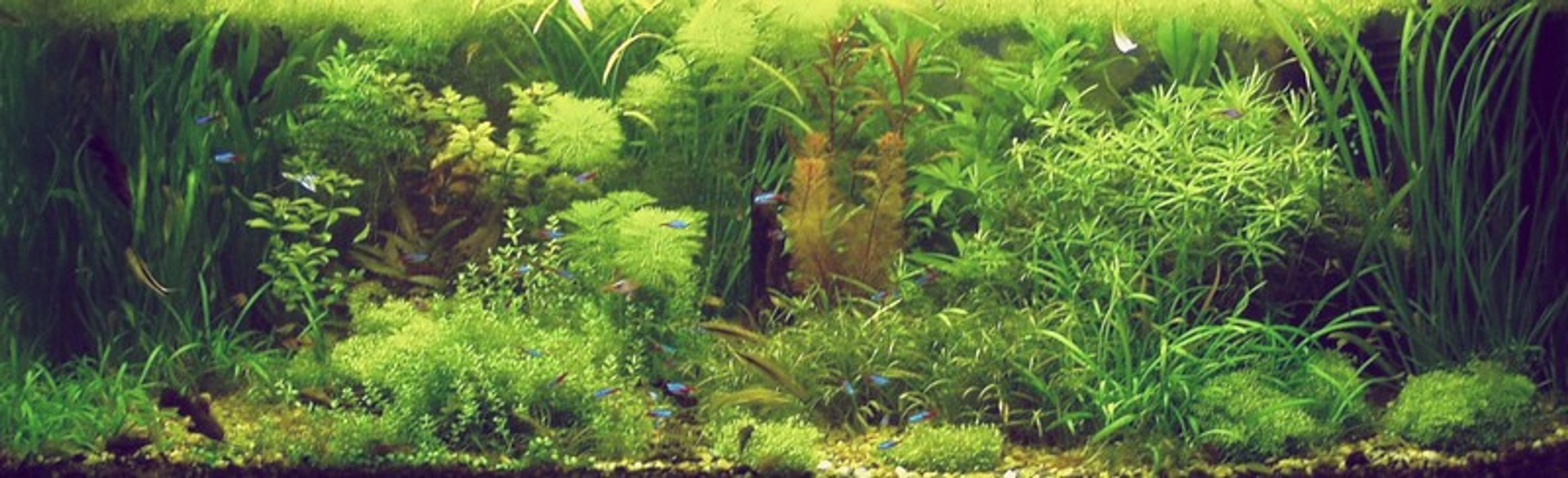 100 gallons planted tank (mostly live plants and fish) - My planted aquarium