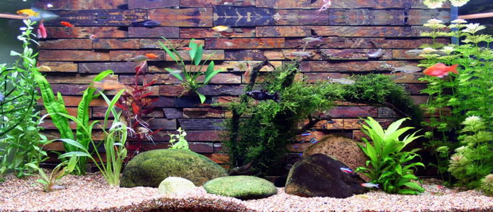 50 gallons planted tank (mostly live plants and fish) - Heres my tank it hasn't been going long but I like it so far. Backing is done with slate tiles from the hardware shop. I siliconed them inside the tank. After a year they dont look as nice anymore as they are covered in algae, but still quite nice. Baby fish like to hide in the cracks and survive quite well. New platys are always turning up.
