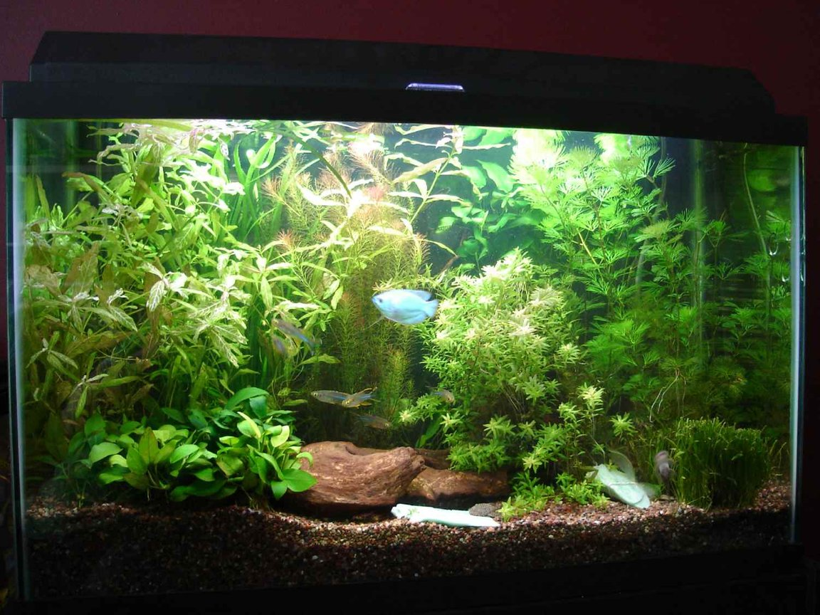 "29 gallons planted tank (mostly live plants and fish) - 29g with CO2 and about 80w Fish~2 kribs, 4 longfin danios, 12 glo-light tetras, 6 celebes rainbowfish, 1 dwarf powder blue gourami, and 3 Ancistrus claro Plants~Cabomba, Hygrophila polysperma ""rosanervig"" , Rotala sp. ""Nanjeshan"" aka Mayaca selowiana, Rotala sp. ""green"", dwarf sag and tall sag grass"